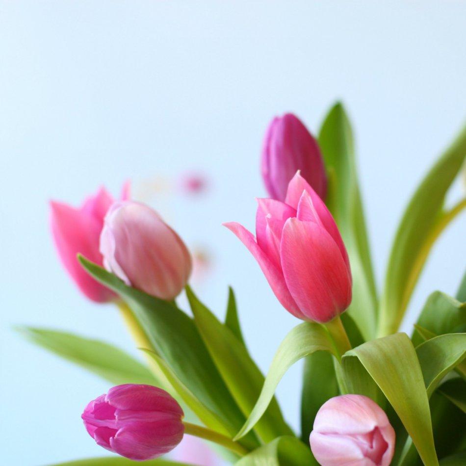 Tulpen Pastel